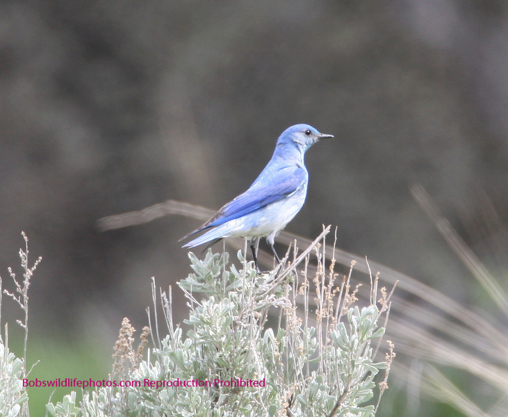 Thsi Rocky Mountain Blue Jay was photographed in Yellowstone near Tower Falls.