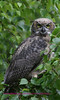 This owl photo was captured on the Kenai peninsula Alaska. Specifically off swan lake rd.