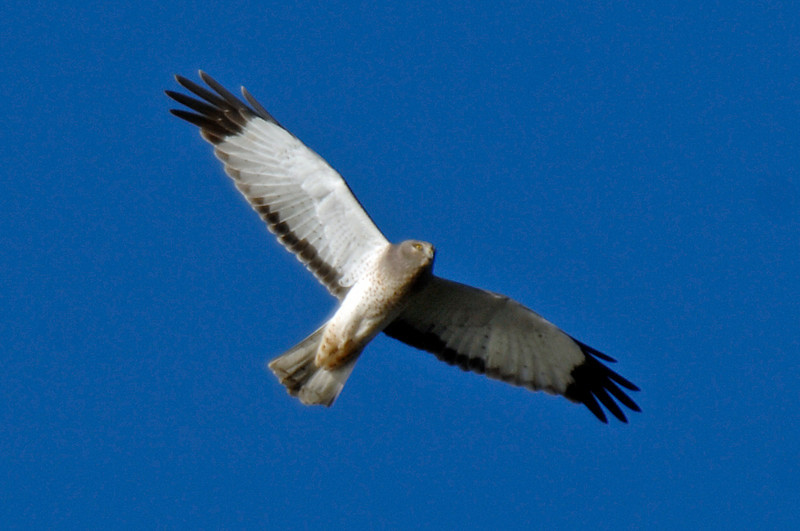 9216 Northern Harrier Male