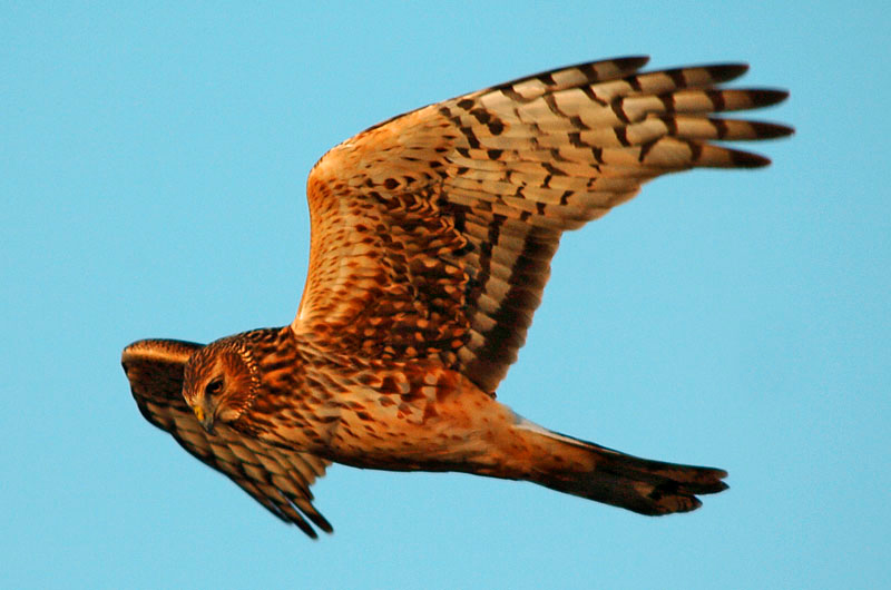 9077 Northern Harrier flying