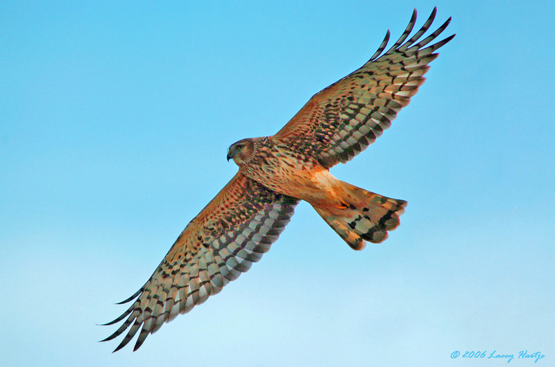 9308 Northern Harrier Flying ATWB