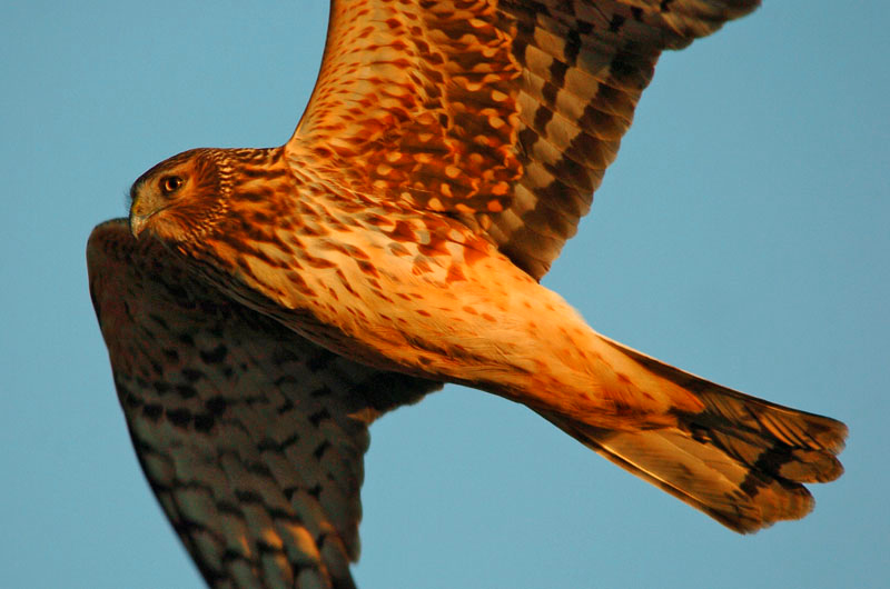 9117 Northern Harrier flying close-up