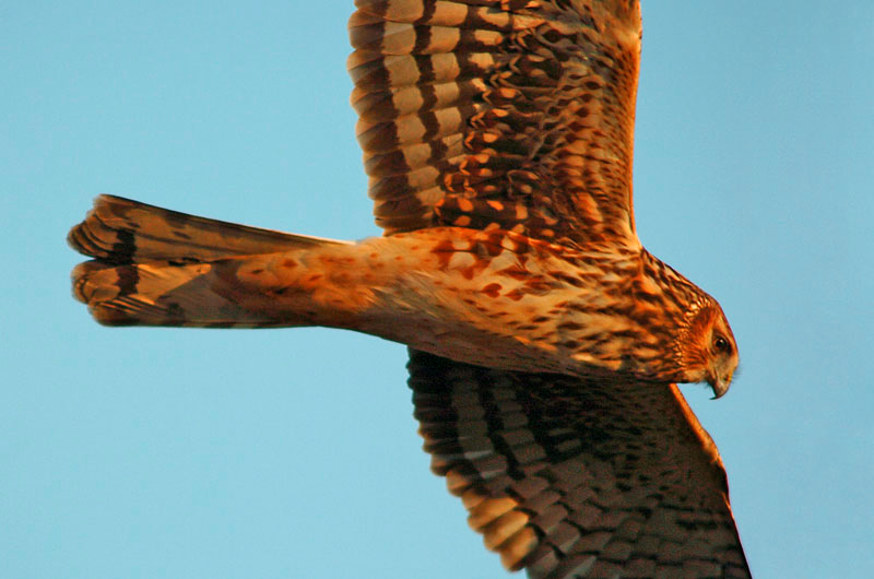 9100 Northern Harrier flying close-up