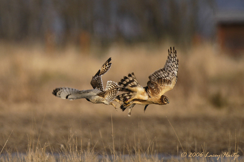 9310 Short-eared Owl and Harrier dog-fight ATWB