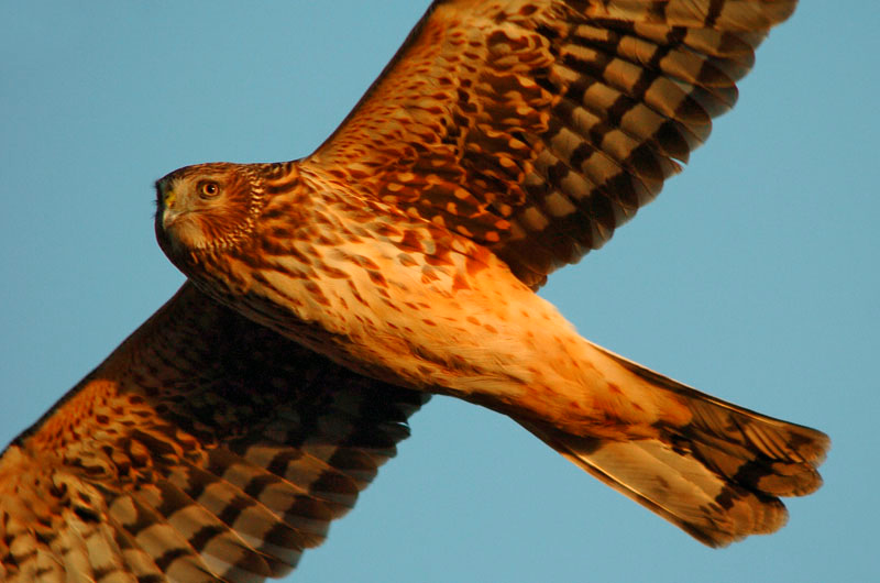 9116 Northern Harrier flying close-up