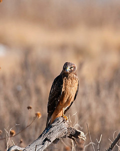 Northern Harrier (Female), Bosque Del Apache National Wildlife Refuge, NM