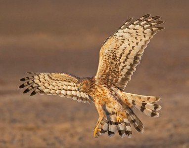 Northern Harrier, Hackberry Flats Wildlife Management Area, Oklahoma