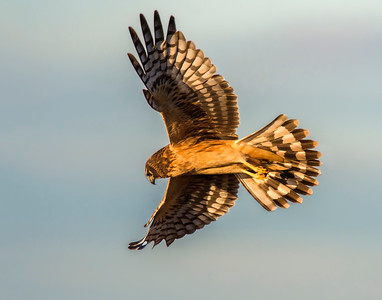 Northern Harrier, Hackberry Flats Wildlife Management Area, OK
