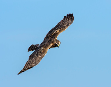 Northern Harrier, Hackberry Flats WMA, OK