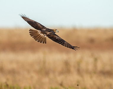 Hawk, Hackberry Flats Wildlife Management Area, OK