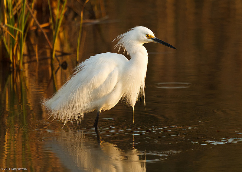 Ruffled Feathers<br /> <br /> A Snowy Egret shakes out its feathers before continuing its morning foraging.