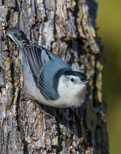 White Breasted Nuthatch, Wichit Mountains Nati