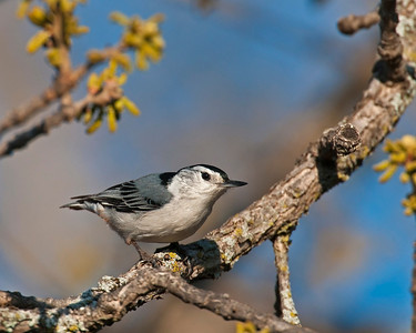 White-breated Nuthatch, Wichita Mountains Wildlife Refuge, OK