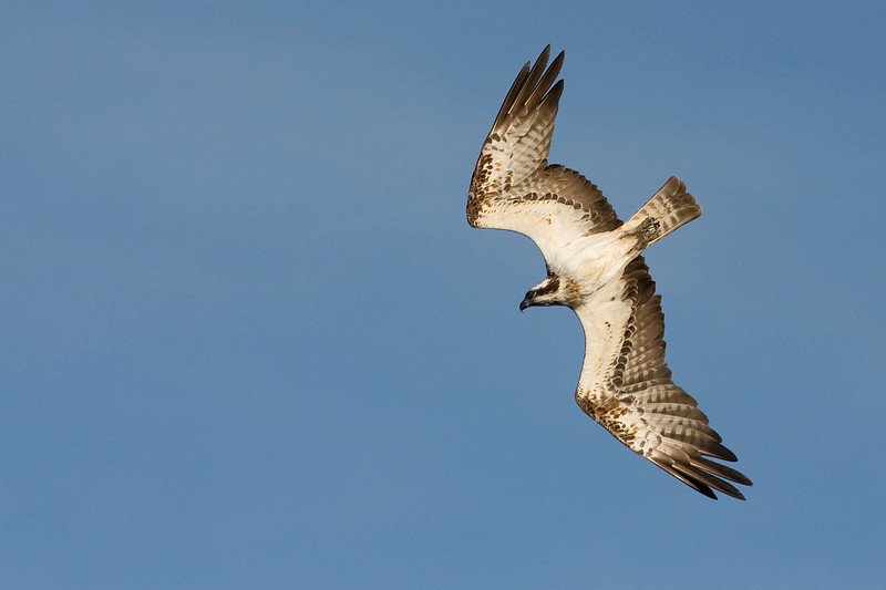 Osprey starting to dive