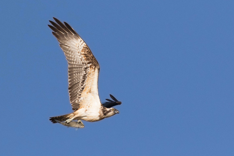 Osprey (Cadiz)