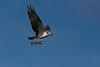 Osprey (Scotland)