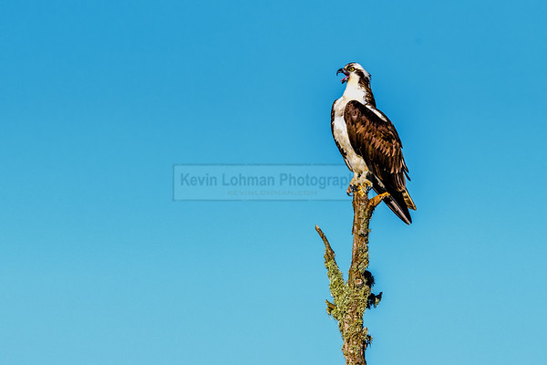 Osprey perched, with mouth open