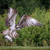 Osprey with fish 3