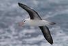 Black browsed Albatross (Albatros de ceja negra) <br /> Drake passage