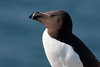 Retrato de Alca (Portrait of a razorbill)