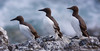 Tres Araos. Three Guillemots