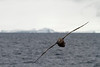 Petrel Gigante<br /> Antarctic Sound