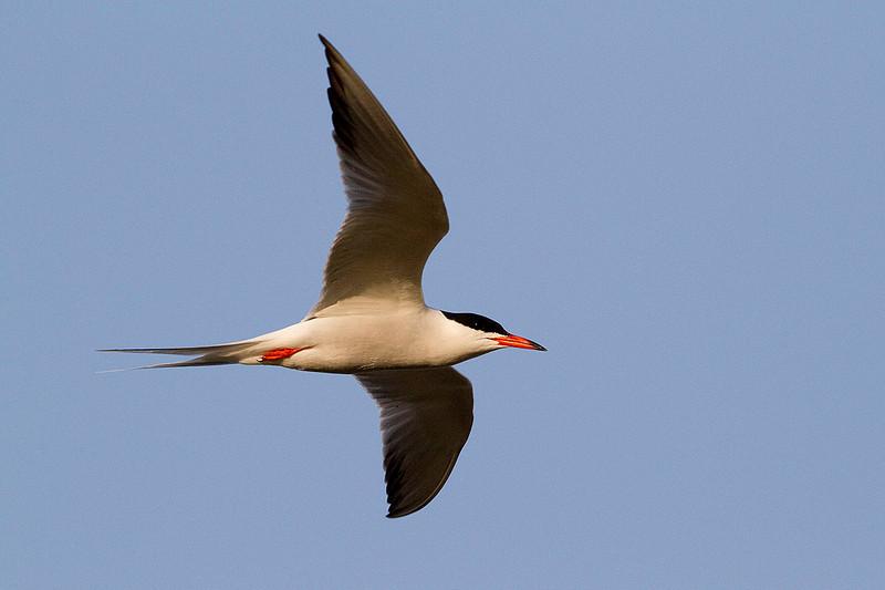 Charrán común, Common tern (Sterna hirundo)