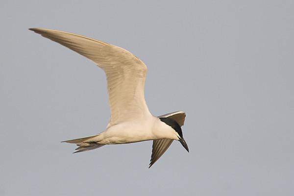 Gull-billed Tern, (Sterna nilotica) Pagaza piconegra