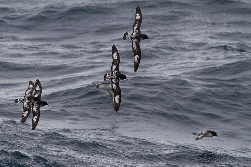 Daption capense. Petreles dameros en aguas antárticas