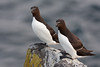 Couple of razorbills