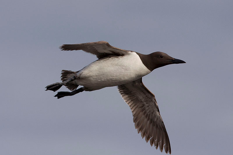 Flying guillemot