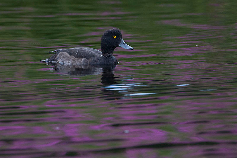 Porrón moñudo, (Aythya fuligula) Tufted duck (Golden Eye)