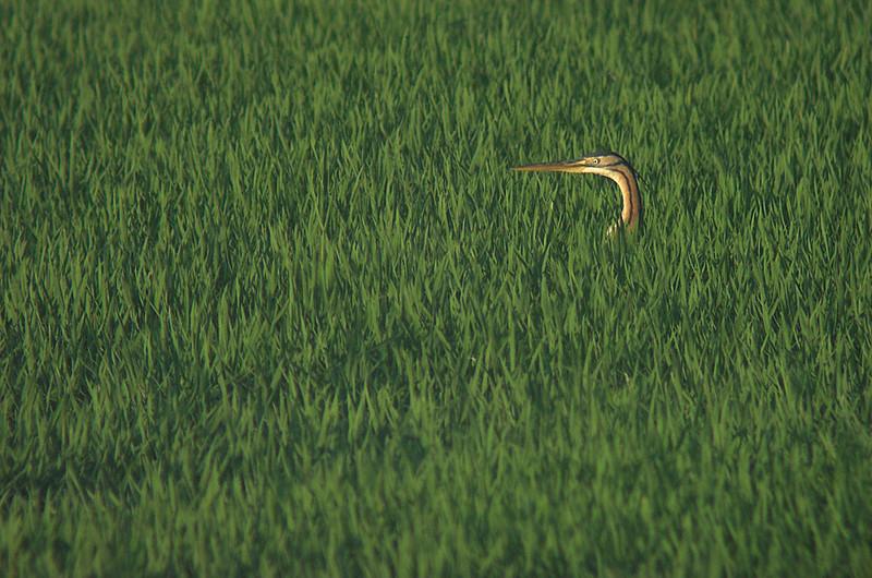 Garza imperial en el arrozal