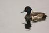 Porrón moñudo, (Aythya fuligula) Tufted duck (Golden Eye)