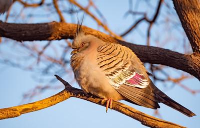 Crested Pigeon at Gemtree Caravan Park