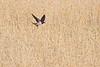 swalow