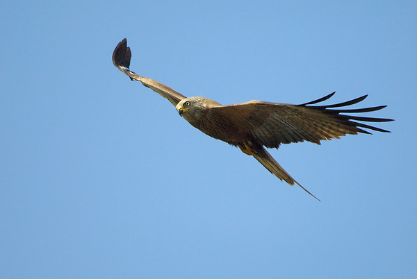 Black Kite, Sanlúcar de Barrameda