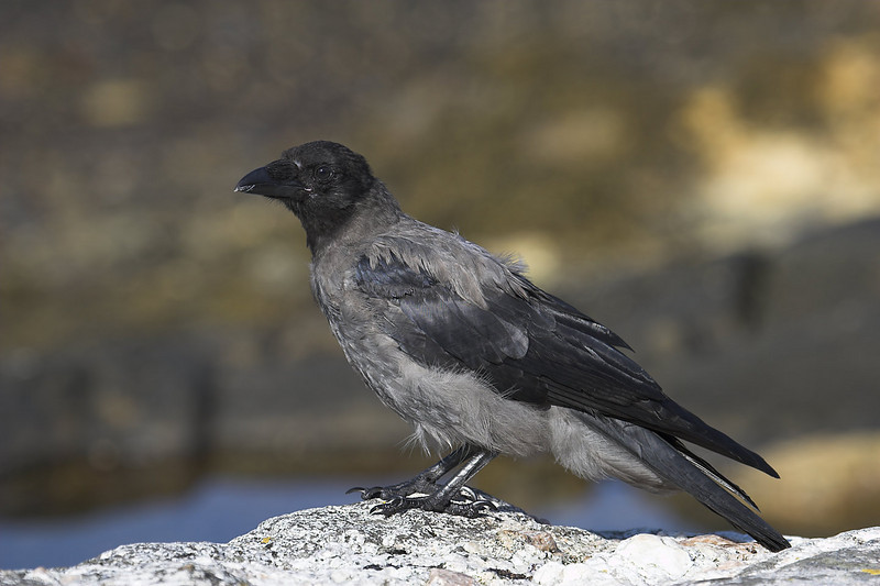 Hooded crow, Corneja cenicienta