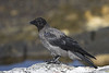 Hooded crow, Corneja cenicienta