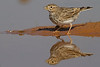 Terrera marismeña (Calandrella rufescens) Lesser Short-toed Lark
