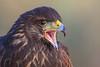 Parabuteo unicinctus (Captive Falconry animal)