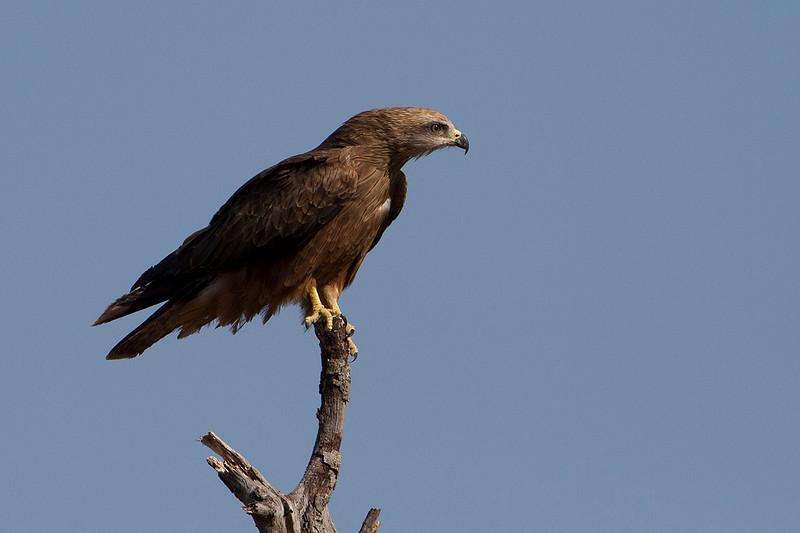 Black Kite, Milano negro (Milvus migrans)