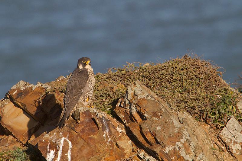 Peregrine falcon- Halcón Peregrino (Falco peregrinus)