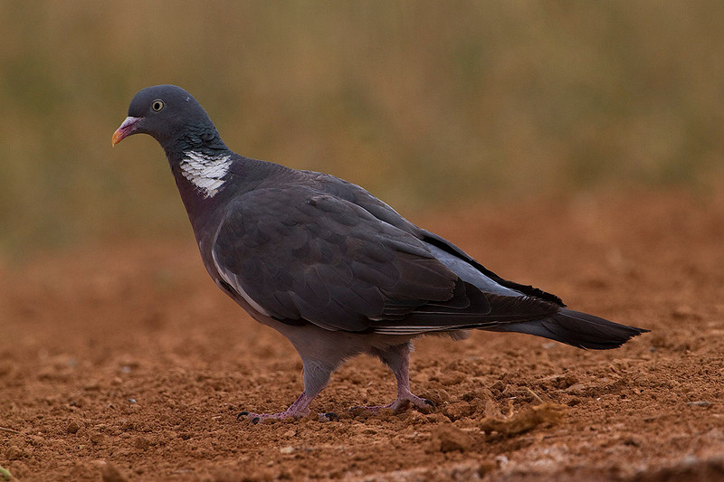 Paloma torcaz (Columba palumbus), Common Woodpigeon