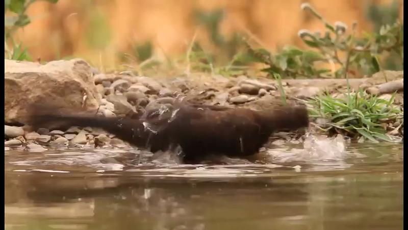 Young blackbird having a bath in its hot first summer<br /> Pollo de mirlo disfrutando de un baño en su primer verano en el cálido sur de España