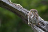 Finding the Austral Pigmy Owl