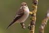 Pied Flycatcher, Papamoscas Cerrojillo (plumaje postnupcial) (Ficedula hypoleuca)