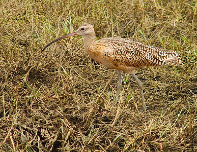 Long-billed Curlew.  Bolsa Chica, Huntington beach, California.