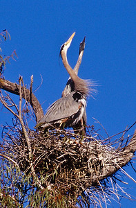 Mated pair of Blue herons.  Escondido creek, Rancho Santa Fe, California.