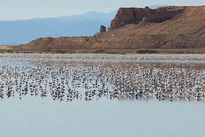 Now  that's a bunch of birds.  Salton Sea, California.